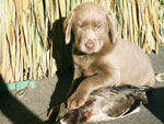 Silver Lab Puppies Gallery 02
