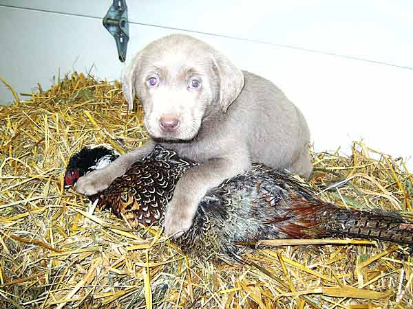 Pinyan Labs: High-Quality Silver Lab Puppies from a Labrador